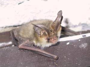 Pomocí svých velkých boltců dokážou netopýři ušatí zaslechnout zvuky pohybujícího se hmyzu.