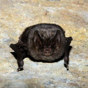 Portrét netopýra černého.
