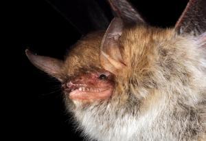 V některých letech v klášteře zimuje i netopýr řasnatý.