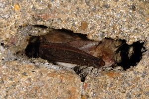 Zimující netopýr ušatý - dlouhé boltce skládá podél těla
