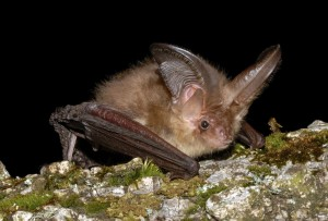 Další z častých návštěvníků sklepení - netopýr ušatý.