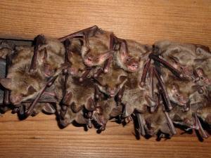 Pohled do kolonie netopýrů velkých.