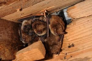 Pohled do kolonie netopýrů brvitých.