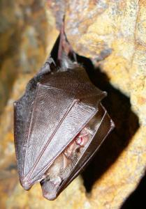 Vrápenec malý se při hibernaci balí do křídelních blan