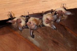 kolonie netopýra ušatého