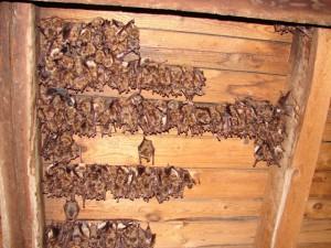 kolonie netopýra velkého