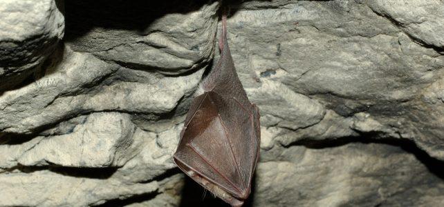 Uspávání netopýrů v Javoříčských jeskyních