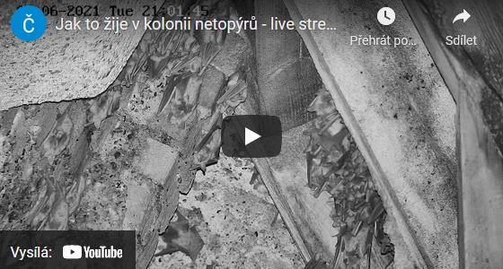 Nový online přenos z letní kolonie netopýrů